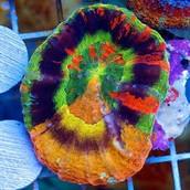 Cherry Corals