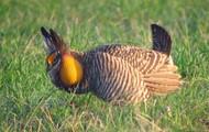 Greater Prarie Chicken