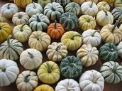Mini Pumpkins 2/$1.00