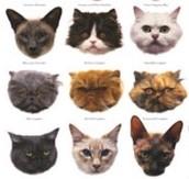 species of cats