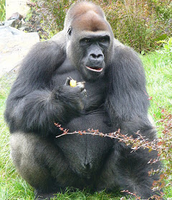A male gorilla eating fruit