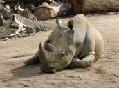 Saving the Rhinos!