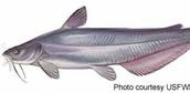 Blue Catfish