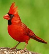 Kentucky state bird