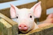 If you take a pig to a feild trip