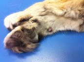 Example of the protected paw
