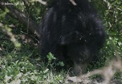 Sloth Bear in its habitat