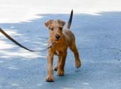 Irish terriers love a good walk