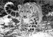 About the snow leopard