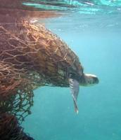 Sea Turtle Entangled in Fishing Net
