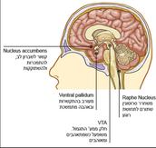 הקשר למוח