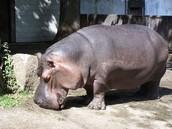 hippopotamus (hippo)