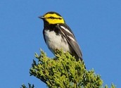 One last picture of the Golden cheeked warbler