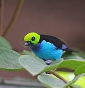 Rainforest ( Paradise Tanager )