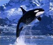 Anterctica whales