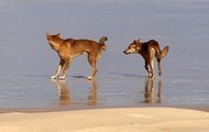 The dingos playing in the water at Fraser Island.