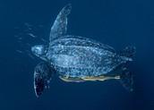 Leatherback turtle swimming In the deep sea