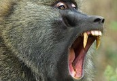 MY animal is a Baboon