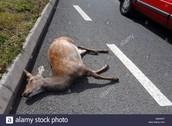 Deer dead on the road