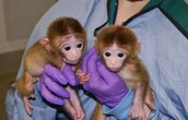Two Young Rhesus Monkeys