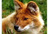 It's So Dhole
