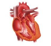 Heart, Capillaries, & Veins