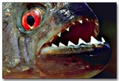 Piranhas like nuts.