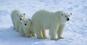 Polar bear with it's cubs