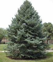 the BLUE spruce is Utahs state tree