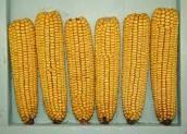 Easy Corn on the Cob Tip.....