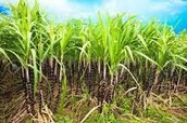 What are some main crops in Egypt?