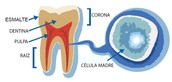 Celulas Dentales