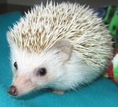 An example of what sisters hedgehog looks like.