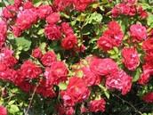 The Rosebush