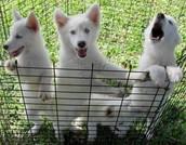 white lab  Siberian  husky mix