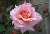 A pink rose,