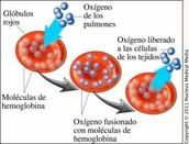 Oxihemoglobina (HbO2)