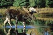 moose look like...