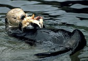 Food in a Sea Otter's diet and Hunting