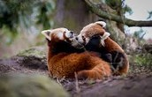 two red pandas in natural habitiat