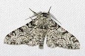 White Peppered moth