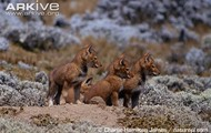 Ethiopian Wolf Cubs