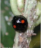 Two-Spotted Ladybug