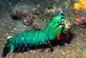 mantis shrimp/ very beautiful blue