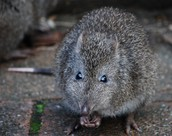 The long nosed potoroo