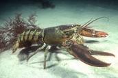 Lobster looks