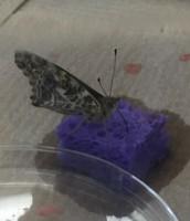 Butterfly Proboscis!