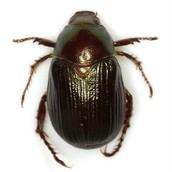Robinson's Anomala Scarab Beetle
