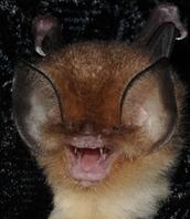 CUBAN GREATER FUNNEL - EARED BAT