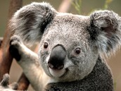 The koala who likes almonds